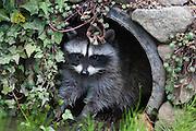 Raccoon in drainage pipe, Lummi Island, Washington state