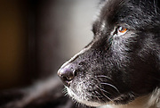 Close up profile of old black dog.