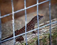 Brown anole lizard. Backyard urban garden in St. Petersburg. Image taken with a Fuji X-T2 camera and 100-400 mm OIS lens (ISO 200, 400 mm, f/5.6, 1/60 sec).