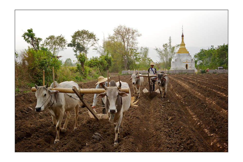 SMALL version - 9&quot;X6&quot; (23X15 cm) <br /> Overlooked by a Buddhist temple, men plough a field helped by oxen. A set of special edition prints on offer at a special price to raise money for the earthquakes that devastated Central Italy and Central Myanmar at the end of August 2016. Each print comes with a wide border on fine-art paper ready to be framed on standard size mounts. <br />  I will donate all profits to charities helping the victims of the earthquakes.