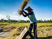 Rice Harvest in Bali