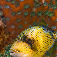 Alberto Carrera, Titan Triggerfish, Balistoides viridescens, Lembeh, North Sulawesi, Indonesia, Asia