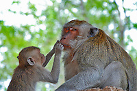 Cute photo of a young Balinese monkey grooming it's mother.