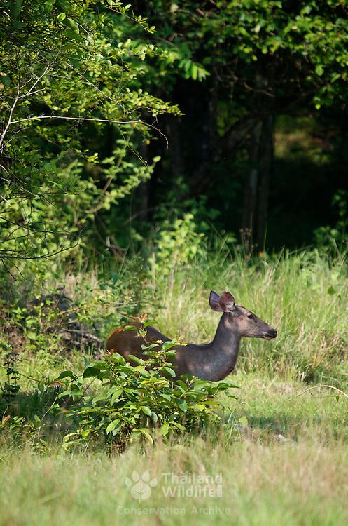 Female Sambar Deer (Rusa unicolor equinus AKA Cervus unicolor) in Huai Kha Kaeng, Thailand.