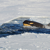 A male Orca in McMurdo Sound, Antarctica.