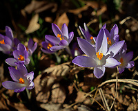 Purple Crocus Flowers. Winter Backyard Nature in New Jersey. Image taken with a Leica CL camera and 60 mm f/2.8 lens (ISO 100, 60 mm, f/4, 1/2500 sec).
