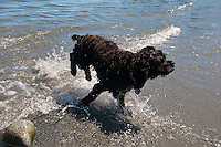 Marley the cocker spaniel plays on the sandy beach at Arbutus Cove, in Victoria, BC