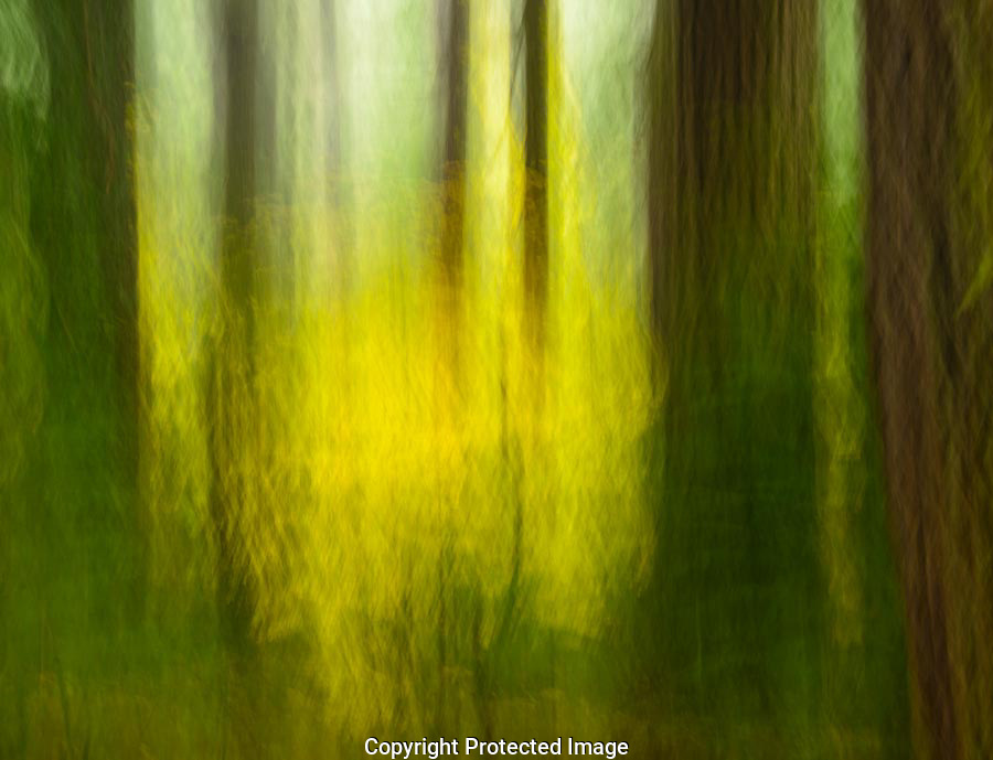 In the dark understory of an old growth forest in Mt Rainier National Park, an interest design is formed by the trunks of massive trees and the yellow leaves of the understory maples.