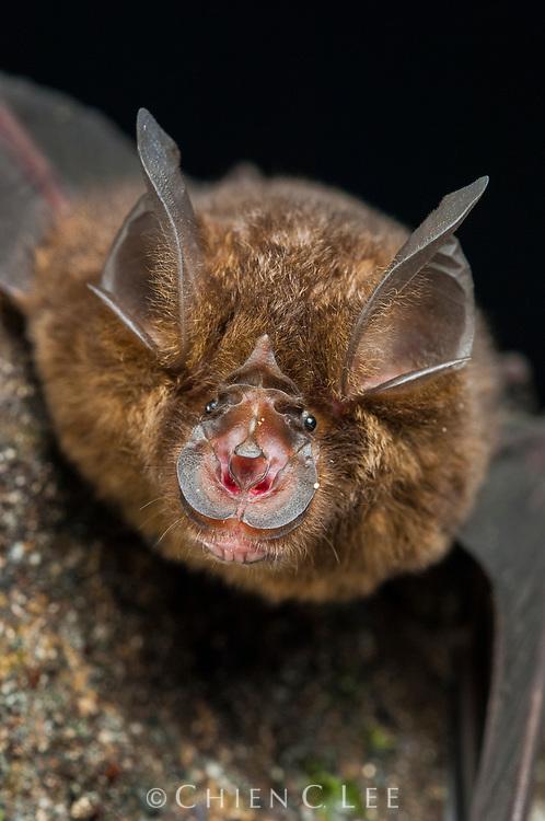 The bizarre face of a Bornean Horseshoe Bat (Rhinolophus borneensis).