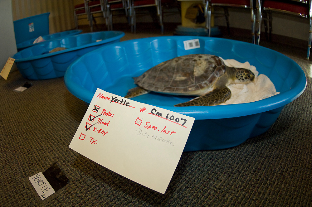 Green Sea Turtle (Chelonia mydas) rescued and being rehabilitated at the Loggerhead Marinelife Center of Juno Beach, FL after an unusual strong cold front.