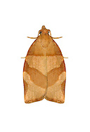 Barred Fruit-tree Tortrix - Pandemis cerasana<br /> 49.025 (0970)