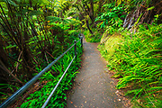 Kilauea Iki trail in the tree fern forest, Hawaii Volcanoes National Park, Hawaii USA