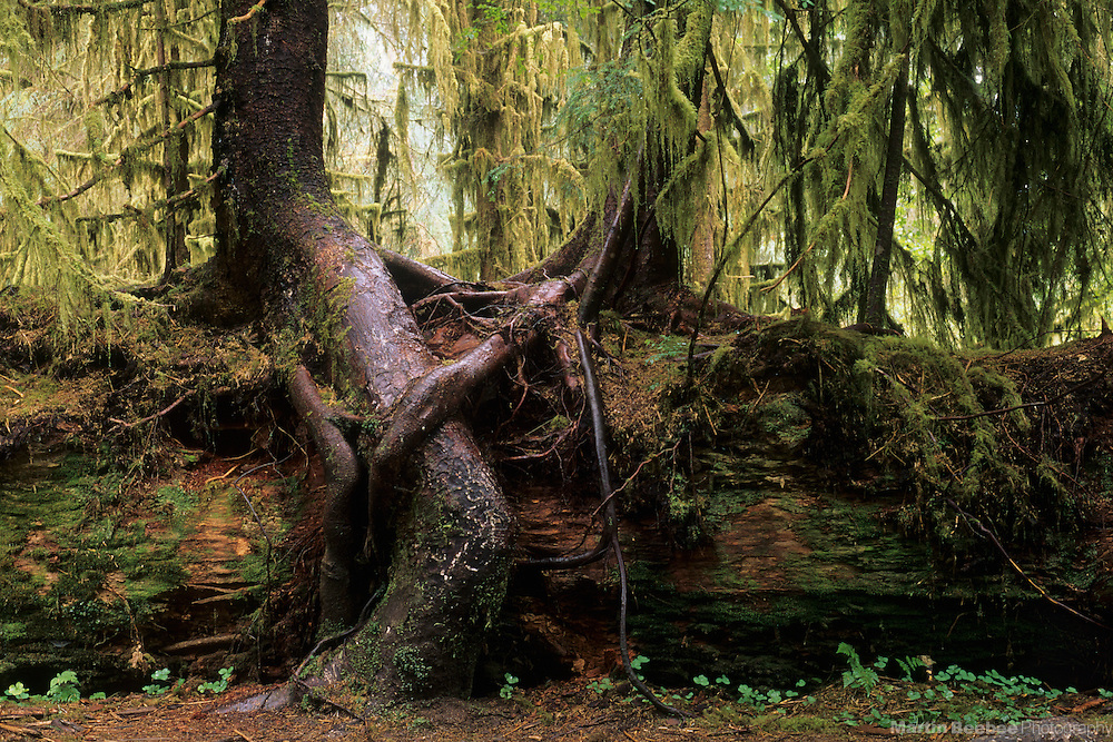 Two trees grow on a nurse log in the Hoh Rainforest, Olympic National Park, Washington