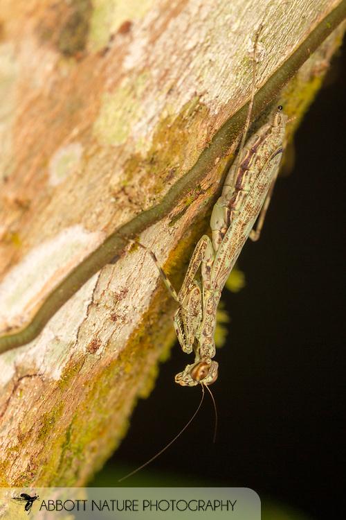 Bark Mantis (Liturgusa sp.)<br /> BELIZE: Cayo District <br /> Ian Anderson's Caves Branch Lodge near Armenia<br /> 10-Aug-2015<br /> J.C. Abbott &amp; K.K. Abbott