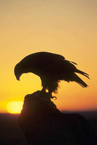 Golden Eagle, (Aquila chrysaetos) Silhouetted by setting sun.  Captive Animal.