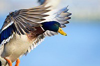 Mallard duck (Anas platyrhynchos), Cambridge, Maryland.