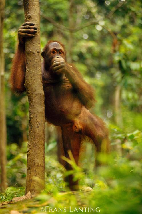 Bornean orangutan standing, Pongo pygmaeus, Sepilok Reserve, Sabah, Borneo