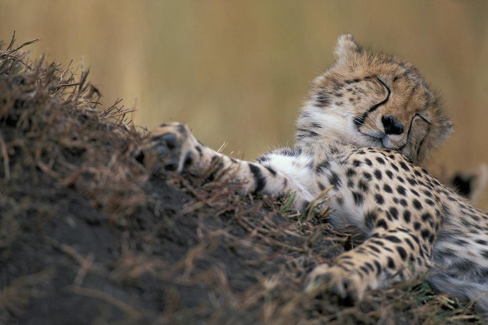 Africa, Kenya, Masai Mara Game Reserve, Young Cheetah cub (Acinonyx jubatas) sleeping in short grass on savanna`