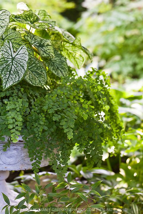 Shade tolerant caladium and maidenhair fern planted in a white cast-iron urn.