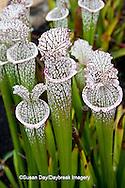 65821-00313  White-top Pitcher Plant  (Sarracenia leucophylla) North Carolina Botanical Garden, Chapel Hill, NC
