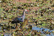 A grey-headed swamphen stalks through a marshy wetland, Tamil Nadu, India.