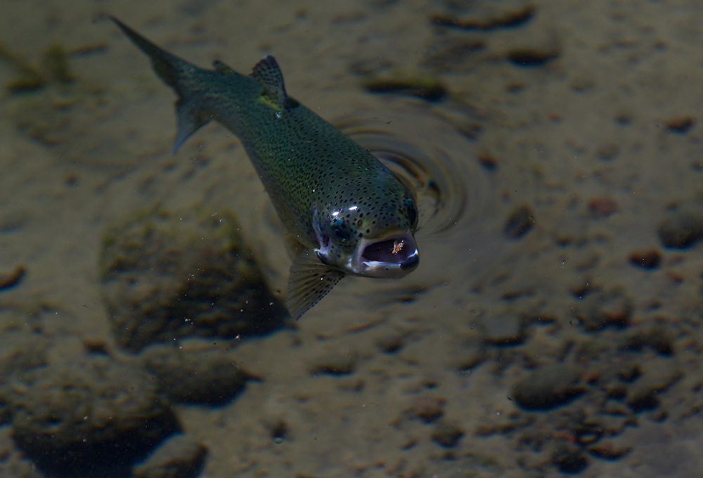 A rainbow trout feeds on the surface.