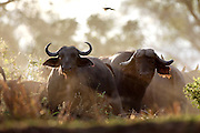 Buffalo on the banks of the river..Lower Zambezi National Park, Zambia, Africa..© Zute Lightfoot