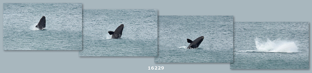 breaching whale sequence