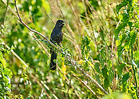 Smooth-billed Ani (Crotophaga ani), Araras Ecolodge,  Mato Grosso, Brazil (Photo: Peter Llewellyn)