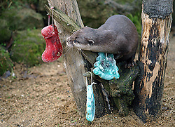 An otter checks out some christmas decorations for taste at Whipsnade Zoo, North of London, UK Tuesday December 18, 2012.Photo by Max  Nash / i-Images.