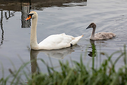 © Licensed to London News Pictures. 10/06/2020. London, UK. The surviving cygnet sibling swims with its mother as Police patrol Pen Ponds in Richmond Park after a newborn cygnet received life threatening injuries when a runner kicked it out of his way. The young swan which is on death's door is being cared for by a swan specialist centre. Parks Police have appealed for witnesses. Photo credit: Alex Lentati/LNP