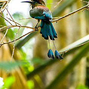 Motmot perched in a branch outside the entrance of a Cenote. Quintana Roo, Mexico.