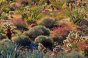 Desert garden in Plum Canyon, Anza-Borrego Desert State Park, California USA