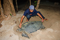 Ranger measuring a green turtle whilst she covers her nest, Gulisan, Sabah, Malaysia.