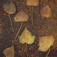 Seven brown autumn or winter leaves of Ivy or Hedera helix lying on rusty metal sheet
