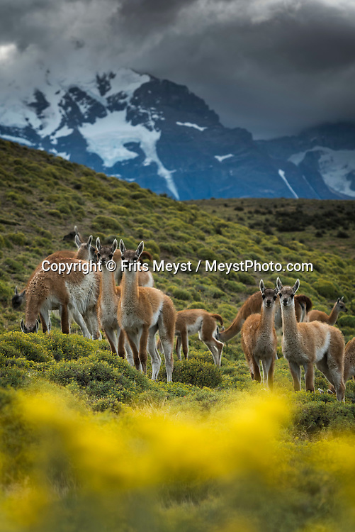 Patagonia, Chile, February 2016.  The guanaco (Lama guanicoe) is a camelid native to South America. Torres del Paine is a UNESCO World Biosphere Reserve and encompasses mountains, glaciers, lakes, and rivers in southern Chilean Patagonia. The Cordillera del Paine is the centerpiece of the park. It lies in a transition area between the Magellanic subpolar forests and the Patagonian Steppes. A 4x4 camper is one of the best vehicles to explore the wild interior of Southern Patagonia. Photo by Frits Meyst / MeystPhoto.com