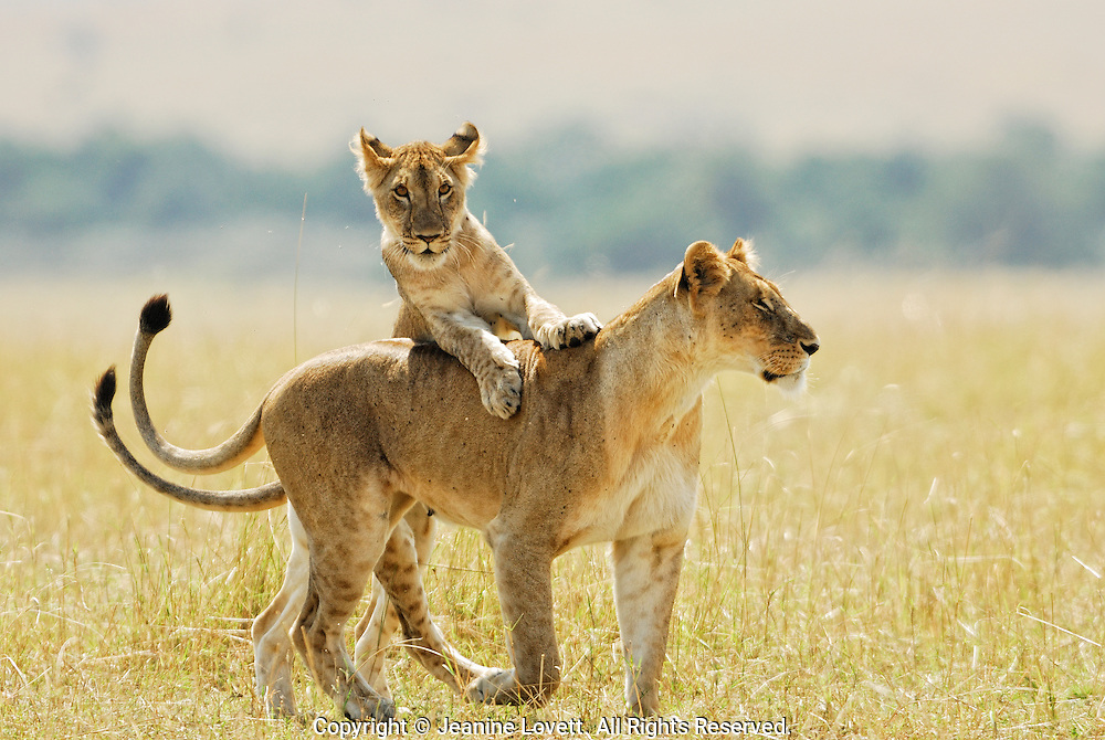 A Playful young  jumps on it's mothers back while she is walking.