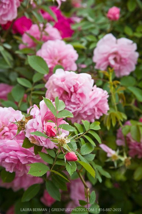 Pink shrub roses.