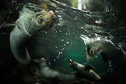 New Zealand fur seal pups (Arctocephalus forsteri) Ohau Stream, New Zealand [size of single organism: 1,2 m] | Junge Neuseeländische Seebär (Arctocephalus forsteri) sammeln sich in der Flußmündung des Ohau Flusses in Neuseeland