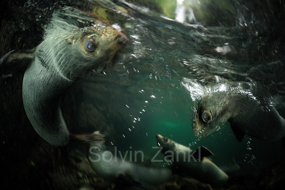 New Zealand fur seal pups (Arctocephalus forsteri) Ohau Stream, New Zealand [size of single organism: 1,2 m]   Junge Neuseeländische Seebär (Arctocephalus forsteri) sammeln sich in der Flußmündung des Ohau Flusses in Neuseeland