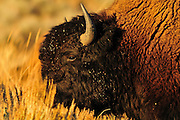 Evening light really brings out the rich coloration of this Bison in the Lamar Valley, Yellowstone National Park.