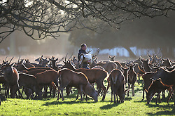 © Licensed to London News Pictures. 31/12/2015. London, UK. A park employee feeds a herd of deer in Bushy Park. Photo credit: Peter Macdiarmid/LNP