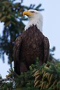 An bald eagle (Haliaeetus leucocephalus) is perched in a tree in Heritage Park, Kirkland, Washington.