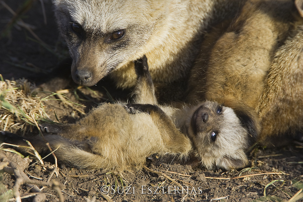 Bat-eared fox<br /> Otocyon megalotis<br /> With 4 week old pup(s)<br /> Masai Mara Reserve, Kenya