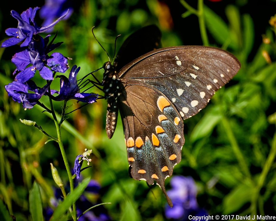 Black Swallowtail Butterfly on purple delphinium bloom. Backyard summer nature in New Jersey. Image taken with a Nikon N1-V3 camera and 70-300 mm VR telephoto zoom lens (ISO 400, 300 mm, f/5.6, 1/640 sec)