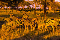 A herd of zebras gather together as lions approach, Kwando Concession, Linyanti Marshes, Botswana.