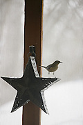 A bird on a tin loan star candle holder in San Antonio, Tex. (Photos  by Lance Cheung, Copyright 2007)..PHOTO COPYRIGHT 2007 LANCE CHEUNG.This photograph is NOT within the public domain..This photograph is not to downloaded, stored, manipulated, printed or distributed with out the written permission from the photographer. .This photograph (on this web site) is protected under domestic and international laws.
