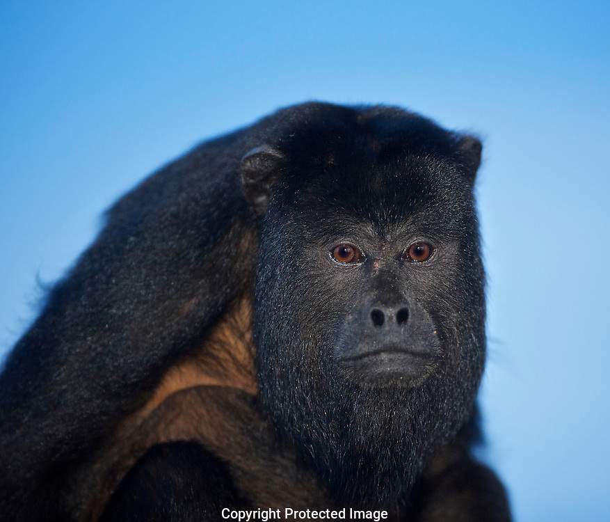 Black Howler Monkey. (Alouatta caraya) male., Araras Eco Lodge, Matto Grosso, Brazil, Isobel Springett
