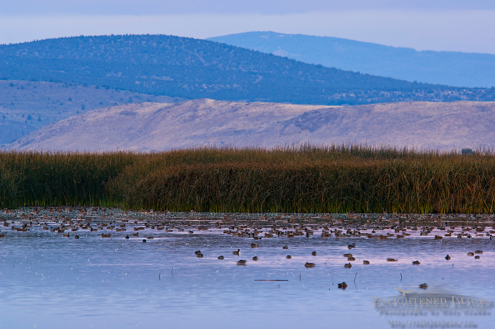 Waterfowl at sunrise, Lower Klamath National Wildlife Refuge, Siskiyou County, California