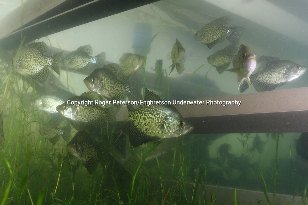 School of Black Crappie under Boat Lift<br /> <br /> Roger Peterson/Engbretson Underwater Photography